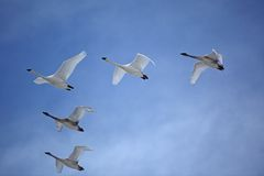 Flock of Trumpeter Swans flying in V formation. A flock of Trumpeter Swans fly through a beautiful blue sky in perfect V formation Royalty Free Stock Photos