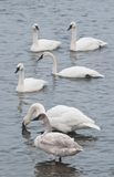 Flock of Trumpeter Swans in River Stock Images
