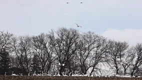Flock of Tundra Swan, Cygnus columbianus, in open field stock video
