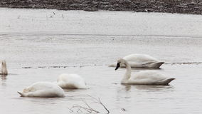 Flock of Tundra Swan, Cygnus columbianus. Tundra Swan, Cygnus columbianus, in spring stock video