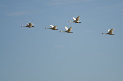 Flock of Tundra Swans Flying in a Blue Sky Stock Photo