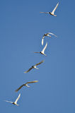 Flock of Tundra Swans Flying in a Blue Sky Royalty Free Stock Image