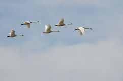 Flock of Tundra Swans Flying High Above the Clouds Royalty Free Stock Images
