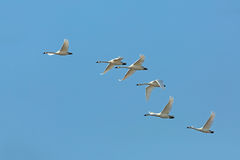 Flock of Tundra Swans migrating against a blue sky Royalty Free Stock Photography