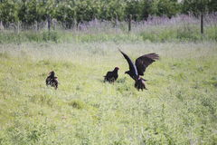 Flock of Turkey Vultures Royalty Free Stock Photo