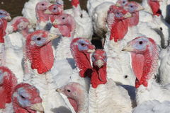 Flock of Turkeys. Flock of Domestic Turkeys ready for thanksgiving royalty free stock image