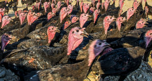 Flock of Turkeys Royalty Free Stock Photos