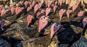 Flock of Turkeys Royalty Free Stock Photos