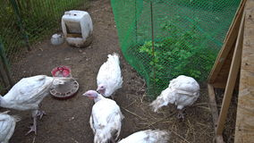 The flock of turkeys in the corral stock footage
