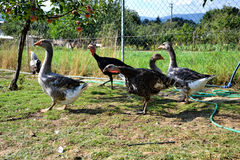 Flock of turkeys and geese feed on the rural farmyard. Domestic goose family graze on traditional village barnyard Royalty Free Stock Photography