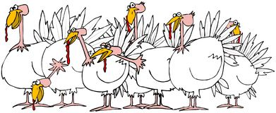 Flock of turkeys Stock Photos