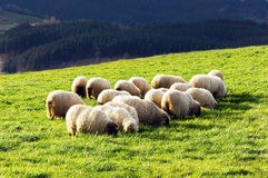 Flock of latxa sheep Royalty Free Stock Images