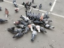A flock of urban pigeons pecking millet royalty free stock images