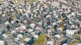 Flock of urban pigeons on the street. A flock of urban pigeons on the street stock video footage