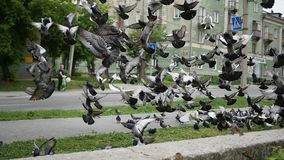 A flock of urban pigeons take off all together. A flock of pigeons take off stock footage