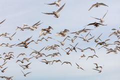 Flock of various species of Gulls in flight Royalty Free Stock Photo