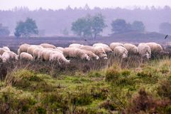 Flock of Veluwe Heath Sheep on the Ermelosche heide royalty free stock images