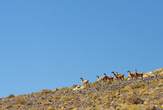 Flock of vicunas Stock Image