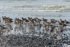 Flock of waders. On pebbly beach Stock Image
