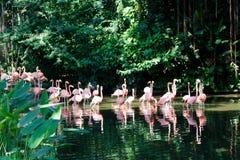 Wading pink flamingo birds. Flock of wading pink flamingo birds along banks with lush green vegetation royalty free stock photography