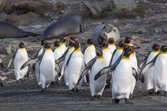 Flock Walking King Penguins Royalty Free Stock Photos