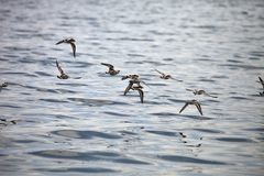 A flock of water birds in flight,Paracas, Peru Stock Images