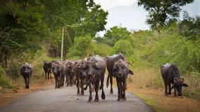Flock of water buffaloes walking on a road. Stock Images