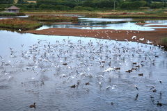Flock of waterbirds in Black Hole Marsh Stock Photo