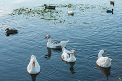 Flock of waterbirds on lake. Surface Royalty Free Stock Photography