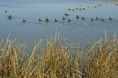 Flock of waterfowl Royalty Free Stock Photos