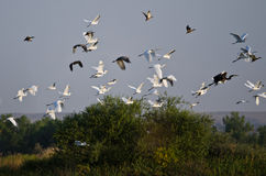 Flock of Waterfowl Flying Low Over the Marsh Stock Images