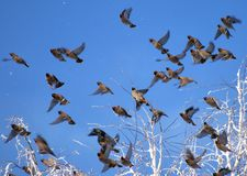 Flock of waxwings Stock Photography