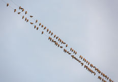 Flock of waxwings Royalty Free Stock Image