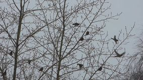 Flock of waxwings sitting on the trees. Birds and branches silhouettes against gray sky background. Cloudy winter day stock video