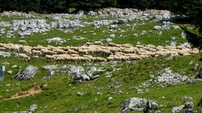 Flock on the way. Photo made on the Plateau of Asiago in the province of Vicenza (Italy Royalty Free Stock Image