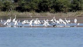 Wetland Birds Egrets and Cormorants in a Lake. Flock Wetland Birds Great Egrets, Intermediate Egrets , Little Egret and Great Cormorants foraging in a Lake Water stock footage