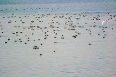 Flock of Wetland Birds Migratory Ducks in a Lake. Which includes Gadwalls and Red Crested Pochards stock photo