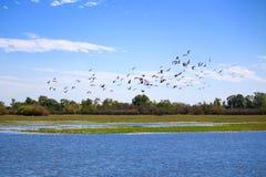 Flock of Whistling Ducks Stock Image