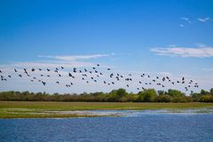 Flock of Whistling Ducks Royalty Free Stock Images