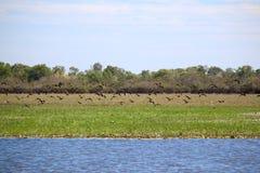 Flock of Whistling Ducks Stock Photos