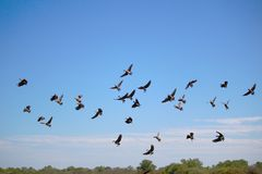 Flock of Whistling Ducks Stock Images