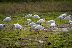 Flock of white american ibis Stock Image