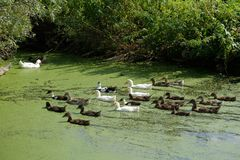 Flock of white and brown ducks in the lake or pond overgrown wit. H duckweed on background of bushes sunny summer day Royalty Free Stock Image
