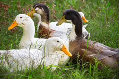 Flock of white and brown geese Stock Image