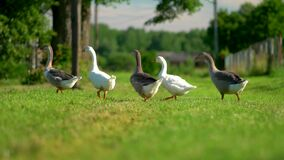 Flock of white and brown geese on the pasture. Domestic geese on the farm.