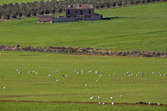 Flock of white cranes feeding on the large grassland, Andalusia Stock Image