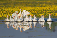 Flock of white domestic geese swiming on the floral pond Royalty Free Stock Photo