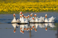 Flock of white domestic geese swiming on the pond Stock Photo