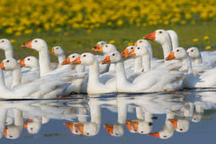 Flock of white domestic geese swimming on the marsh Stock Image