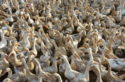 Flock of white duck Royalty Free Stock Photography